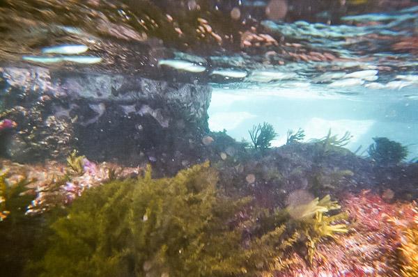 桟橋の磯に暮らす小魚たち2
