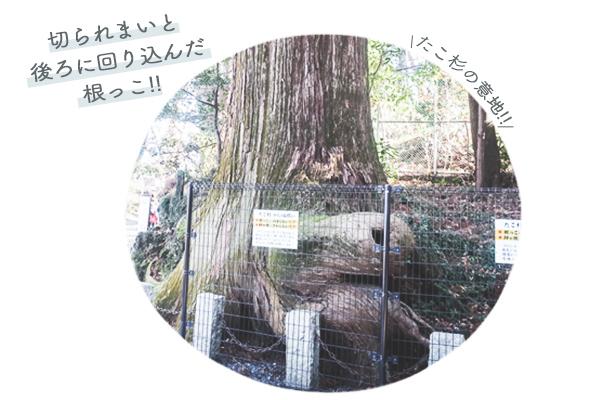 高尾山パワースポット① 伝説のたこ杉2