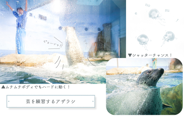 新江ノ島水族館アザラシ