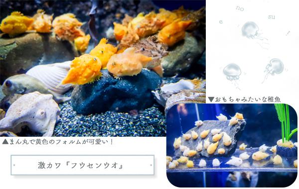 新江ノ島水族館フウセンウオ