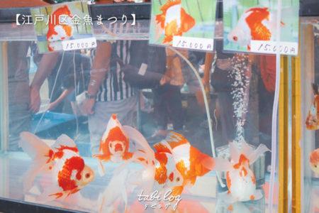 【江戸川区金魚まつり】販売している生体の種類・値段・金魚すくいについて