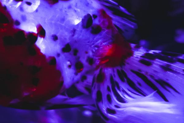 煌めく金魚の鱗