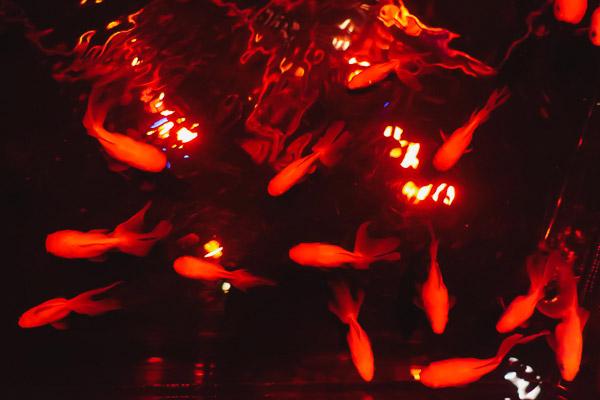 水の中で揺らめく金魚