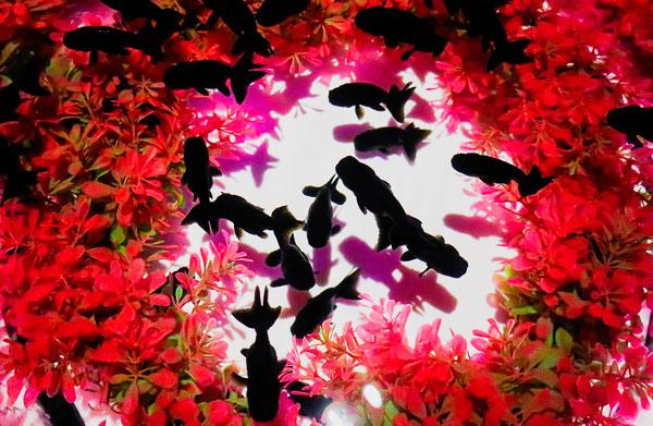 上から見る金魚『金魚品評』