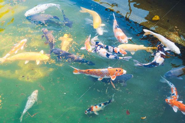 川崎大師の美しい小庭の鯉