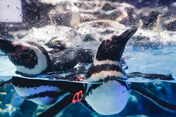 すみだ水族館のメイン ペンギン