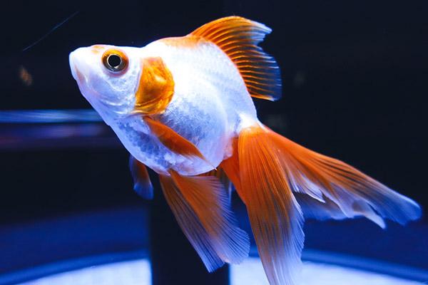 白いボディにオレンジの鰭の地金