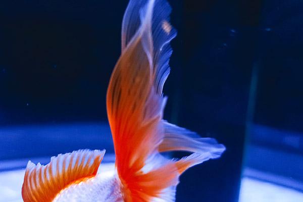 白いボディにオレンジの鰭の地金2