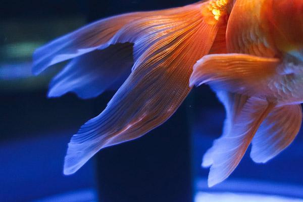 鰭が美しい琉金2