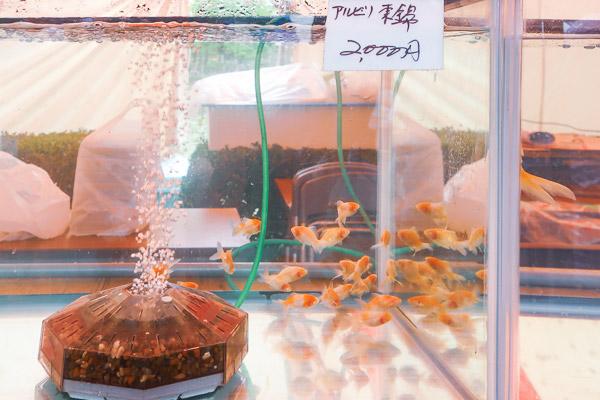 デーブルの上の水槽には珍しい品種や大きめの金魚