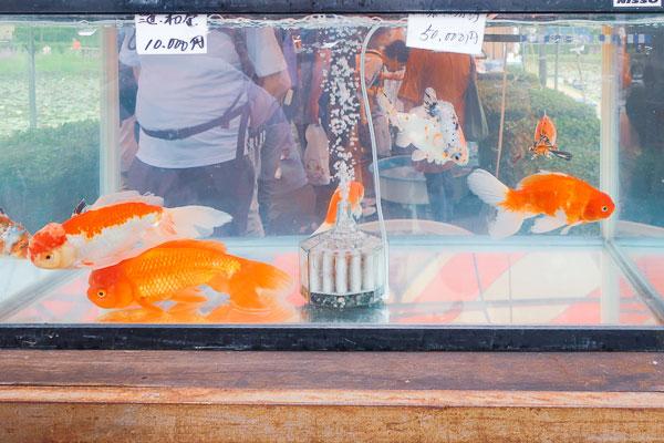 超金魚もしくはほぼ鯉10000~50000円