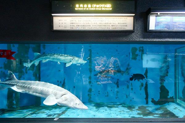 古代魚みたいなサメ