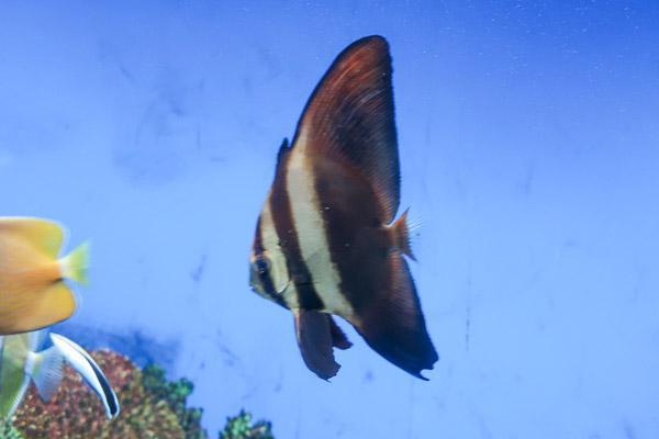 鰭が大きいツバメウオ