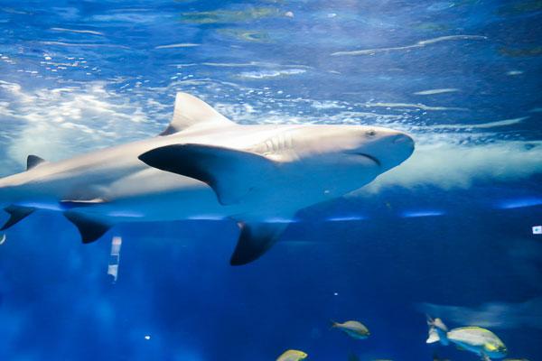 油壷マリンパークサメ