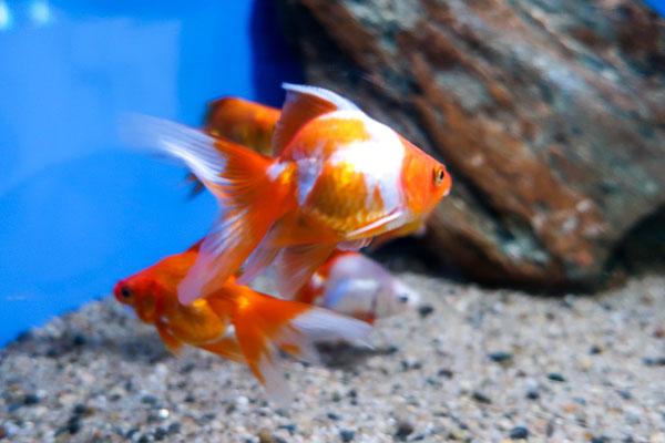 油壷マリンパーク金魚展示