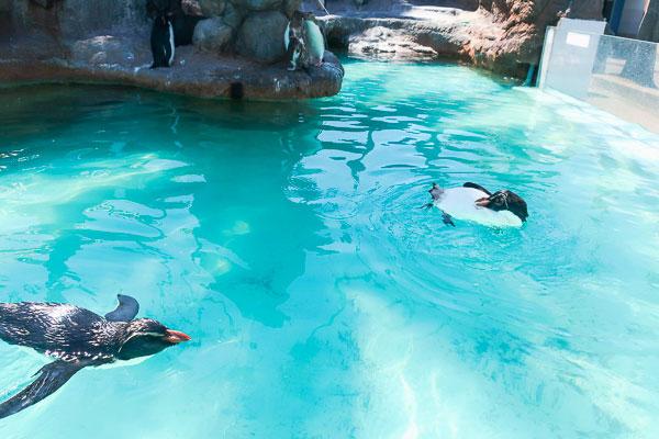 ペンギン島にいるキタイワトビペンギン2