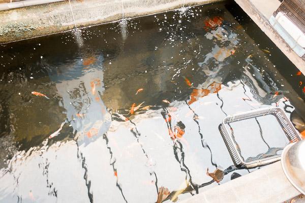 金魚坂の金魚たち