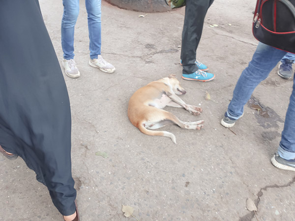 インドの野犬