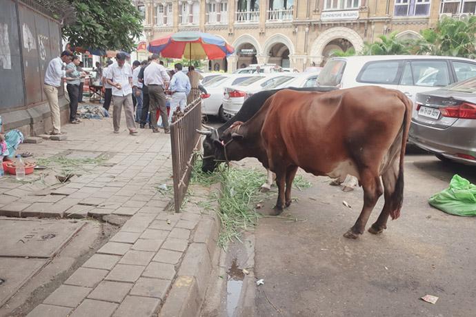 ムンバイの牛