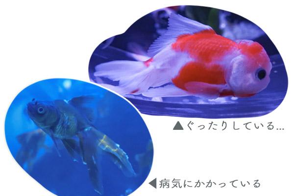 アートアクアリウム美術館金魚の病気