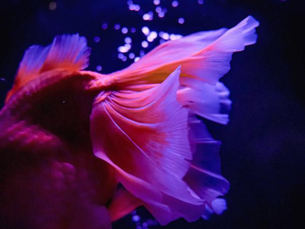 アートアクアリウム美術館金魚1
