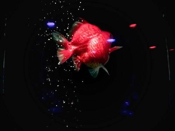 アートアクアリウム美術館金魚3
