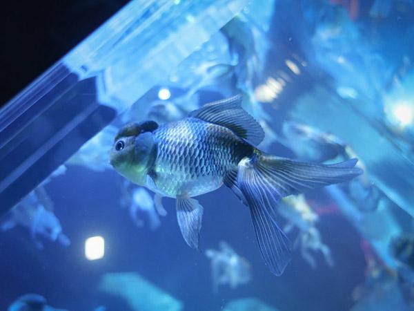 アートアクアリウム美術館金魚4