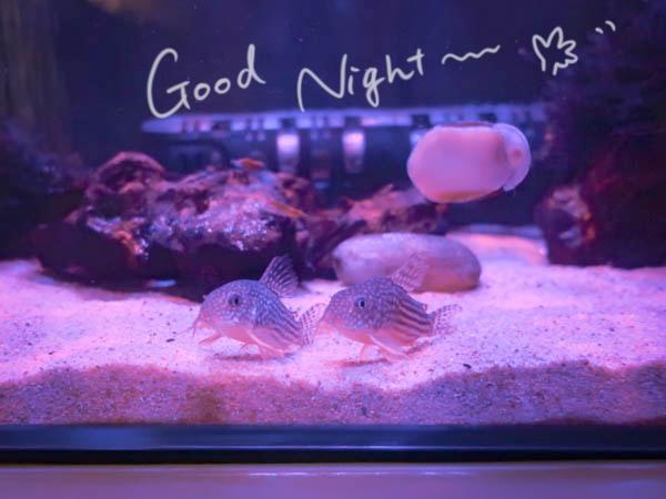 寝る前のお魚タイム