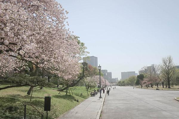 皇居外苑桜